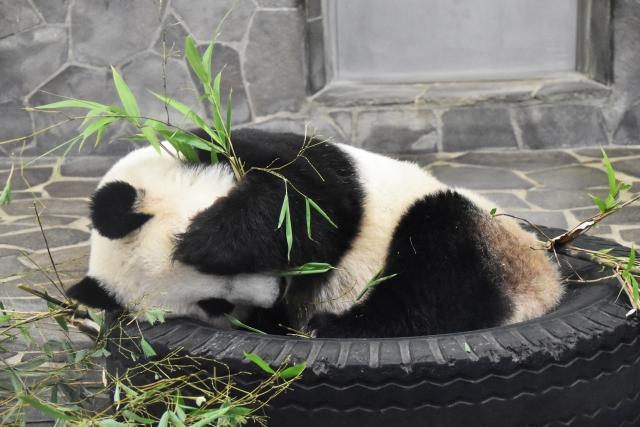 tire-and-panda